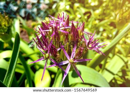 Beautiful purple flowers Allium giganteum, cultivar Globemaster. #1567649569