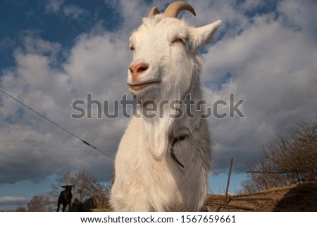 Bizarr dreamy and  weird pictures of goats posing for the photographer