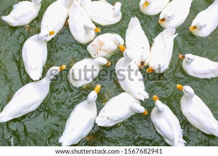 masses white duck swim in pond soft focus #1567682941