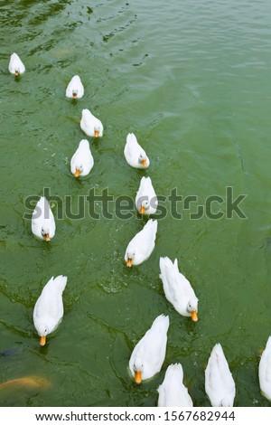 masses white duck swim in pond soft focus #1567682944
