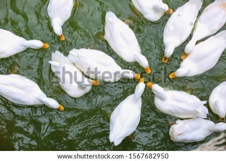 masses white duck swim in pond soft focus #1567682950