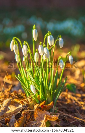 White delicate spring flowers snowdrops. Spring floral background. #1567804321
