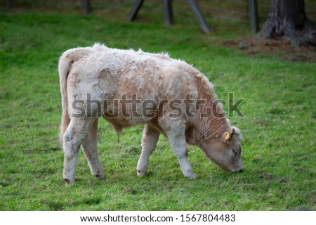 Newborn veal grazing in a field in Scotland #1567804483