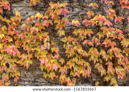 Yellow leaves in autumn, very beautiful in Italy. #1567833667