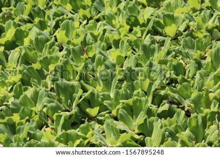 Pistia stratiotes / water lettuce field #1567895248