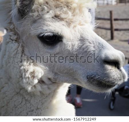 A picture of Alpaca's profile
