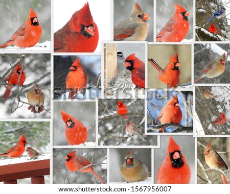 Northern Cardinal in North America