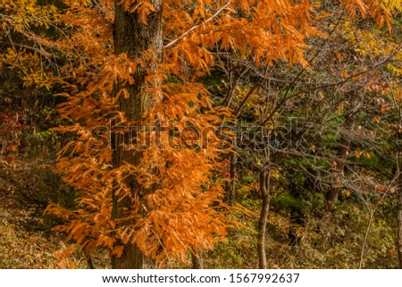 Closeup of larch tree with golden brown fall colored leaves. #1567992637