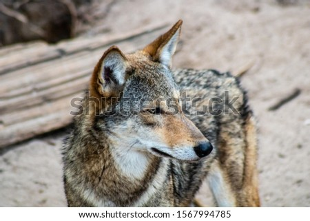 Picture of a red wolf