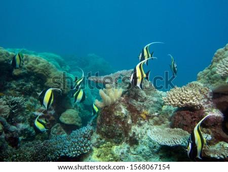 Moorish Idol Zanclus Comutus Great Barrier Reef #1568067154