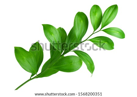 One branch with green leaves on white background isolated close up, fresh grass, herbal illustration, decorative plant, natural floral design, organic nature sign, agriculture symbol, ecology icon #1568200351