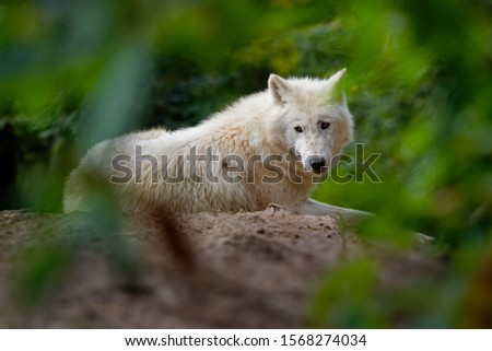 Arctic Wolf Canis lupus arctos, Title picture, Green background, Portrait, laying on the hump behind the green branches.