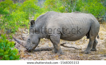 wild white rhino in kruger national park in mpumalanga in south africa #1568305153