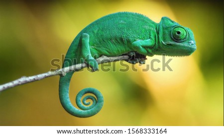 Chameleon Lizard focuses on camera in wild #1568333164