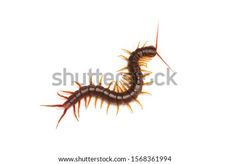 centipede (Scolopendra sp.) Giant centipede isolated on white background. The top view of a living centipede, high resolution images shot in a studio room. Royalty-Free Stock Photo #1568361994