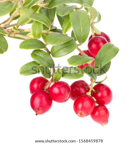 Fresh red berry: hand-picked forest Cowberry isolated on white background #1568459878