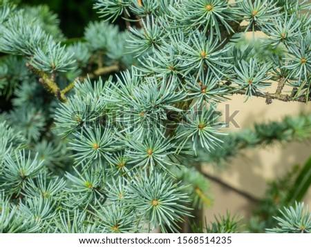 Atlas cedar (Cedrus atlantica) is a cedar native to the Atlas Mountains of Morocco. Royalty-Free Stock Photo #1568514235