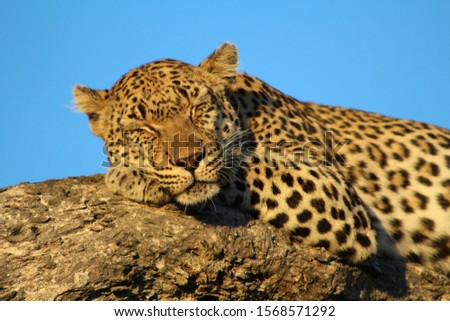 This is a picture of a leopard sleeping. The leopard is on a tree in Africa.