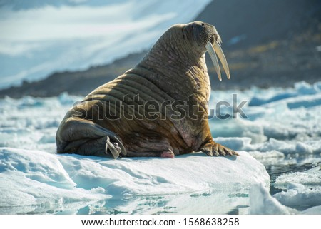 Walrus on ice floe and beach in Arctic