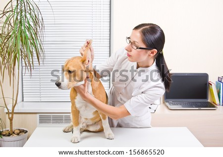 Veterinarian examines the dog's ears of breed beagle #156865520