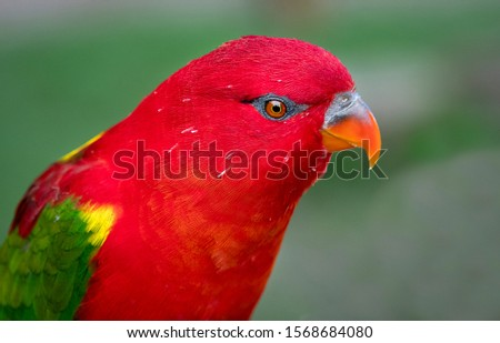 A close up head portrait of a Yellow-backed Chattering Lory, Lorius garrulus, This lory is endangered in its natural habitat due to habitat loss #1568684080