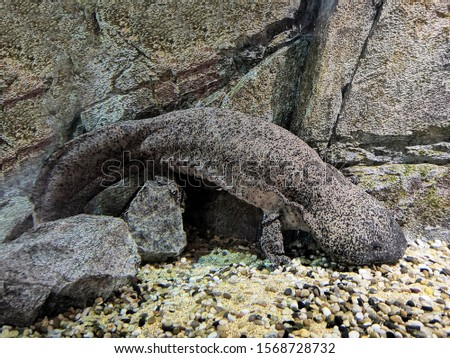 The Chinese Giant Salamander (Andrias davidianus) is aquatic and is endemic to rocky mountain stream.