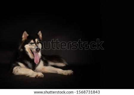 Cute Alaskan malamute dog look at camera with black background, copy space. Cute dog laying down on floor. Alaska dog obey owner, motionless. Use for advertising. Adorable doggy sticking tongue out #1568731843