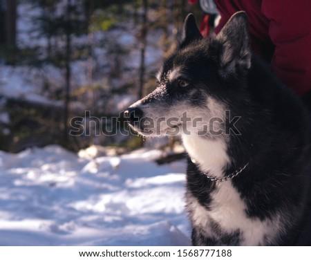 Half-bread husky in the woods in Canadian winter.  #1568777188