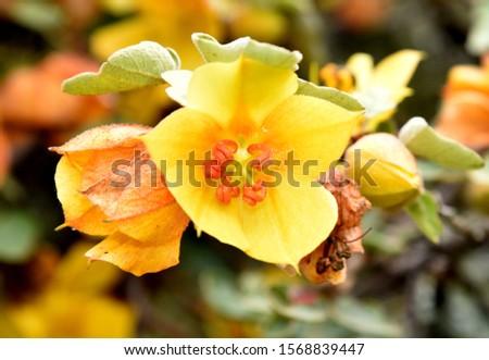 Fremontodendron californicum, California flannelbush, Fremontia californica, flowering evergreen shrub or tree, hairy flannel-like leaves and yellow flowers #1568839447