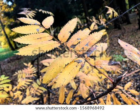 Autumn landscape photography, mountain ash in full beauty, illuminated by the colors of autumn. #1568968492
