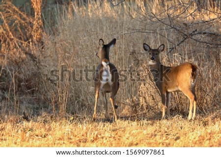 White tailed deer, doe and fawn near city park in Wisconsin #1569097861