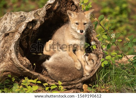 Coyote Pups with mother in log den Royalty-Free Stock Photo #1569190612