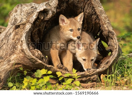 Coyote Pups with mother in log den Royalty-Free Stock Photo #1569190666