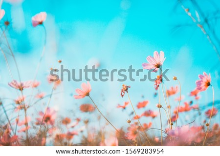 Cosmos flowers beautiful in the garden #1569283954