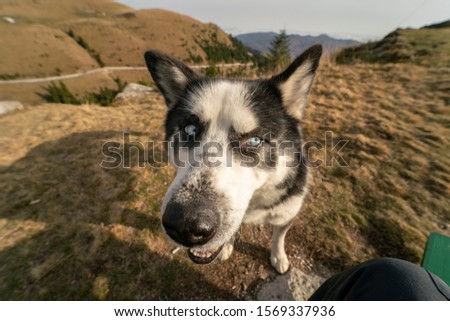 Funny picture taken with a wide angle lens of a husky dog ​​with blue eyes looking sideways, image with Internet meme and comic aesthetics