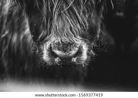 close up detail black and white picture of Scottish Highland Cow in field looking at the camera, Ireland, England, suffolk. Hairy Scottish Yak. Brown hair, blurry background #1569377419