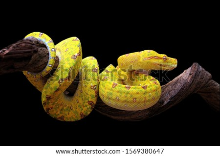 Yellow tree python snake on branch, snake on branch, reptiles closeup Royalty-Free Stock Photo #1569380647