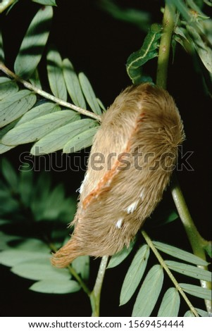Southern Flannel Moth Puss Caterpillar (Megalopyge Opercularis) #1569454444