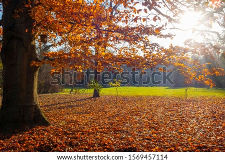 Autumn beech tree with red foliage and lots of fallen leaves on the ground in a beautiful park #1569457114