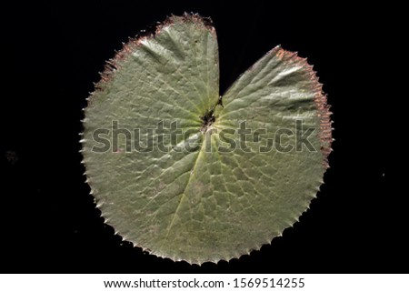 Lotus  leaf on black  water. natural background.Close up lotus leaf on the black swamp. The close up lotus leaf on the black swamp #1569514255