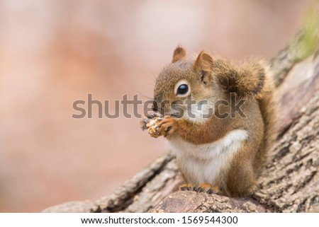 American red squirrel  in winter #1569544300
