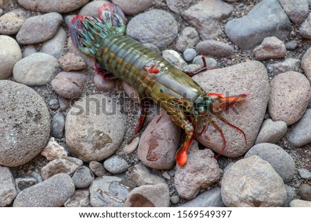 Peacock Mantis Shrimp on a black lava stones and sand in Bali island. A brightly colored Odontodactylus scyllarus, known as the peacock mantis shrimp, harlequin mantis shrimp, painted mantis shrimp #1569549397