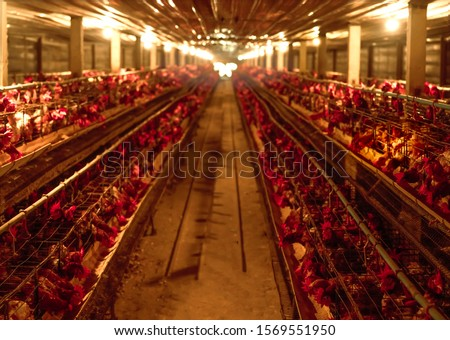 Chicken farm. Egg-laying chicken in battery cages. Commercial hens poultry farming. Layer hens livestock farm. Intensive poultry farming in close systems. Egg production. Chicken feed for laying hens. Royalty-Free Stock Photo #1569551950