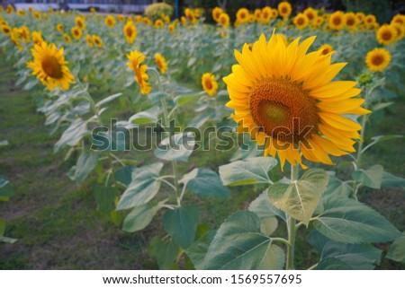Background nature sunflower sunflower blooming sunflower #1569557695