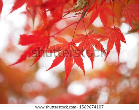 Japanese maple leaves on deliberately blurred red leaves background, Very shallow depth of field #1569674107