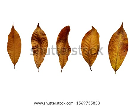 Collection of rubber leaves  With fresh rubber leaves And the Rubber Leaves have spots .Rubber leaves isolated on a white background clipping path includes. #1569735853