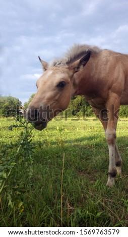 Rare palomino quarter horse foal, meadow time #1569763579