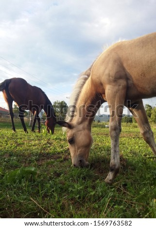Rare palomino quarter horse foal, meadow time #1569763582