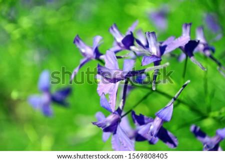 Consolida regalis (Forking Larkspur, Rocket-larkspur, Field larkspur) blue-purple flower, soft green grass bokeh #1569808405