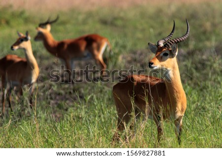 The National Animal of Uganda, the Uganda Kob, is a grazer found on open grasslands in large breed herds where dominant males hold displaying territories called leks #1569827881